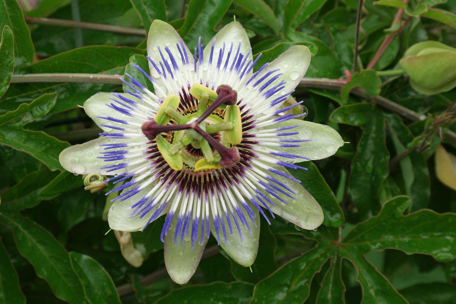 Blaue Passionsblume (Passiflora caerula)