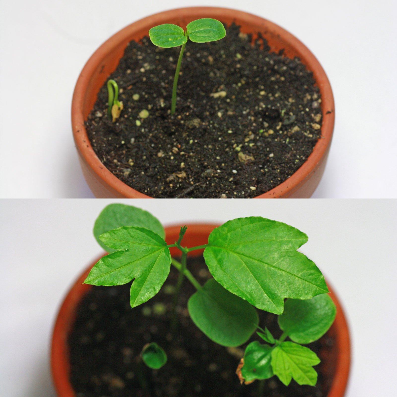 Sämlinge Passiflora mollissima