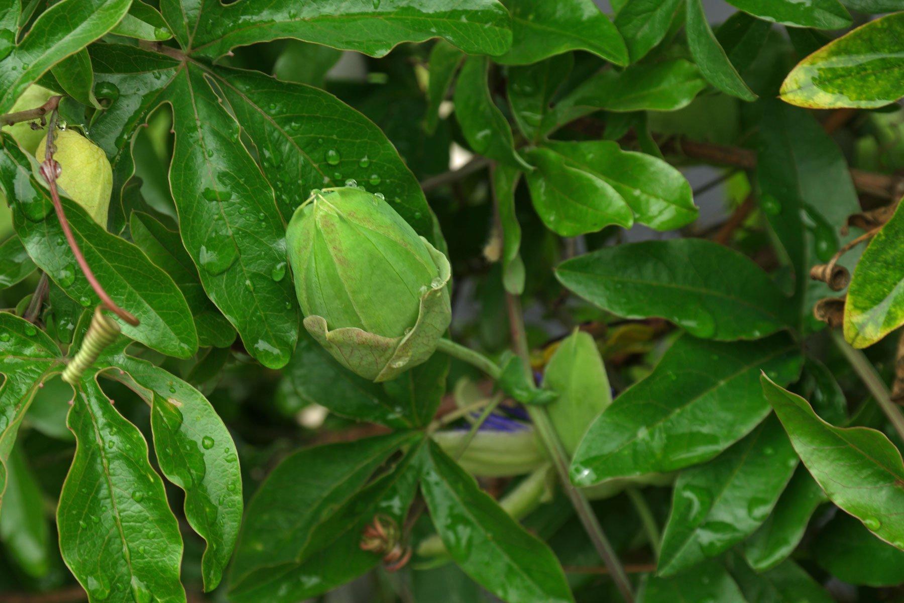 Passionsblume Blätter